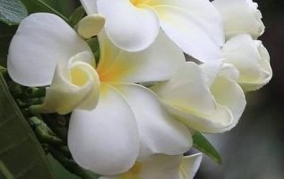 Ivory Plumeria... 4