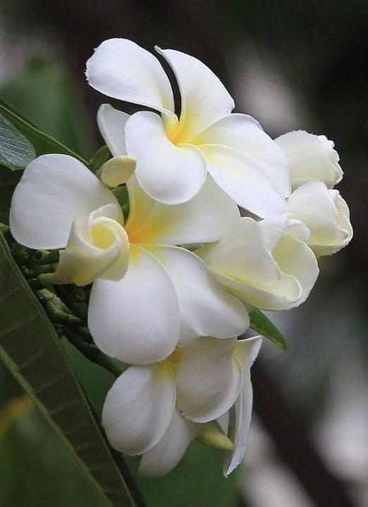 Ivory Plumeria... 1
