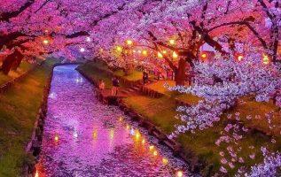 Sakura Blossom in Japan... 2