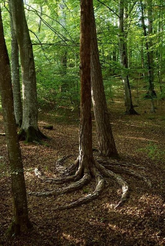 Spiral tree roots.... 1