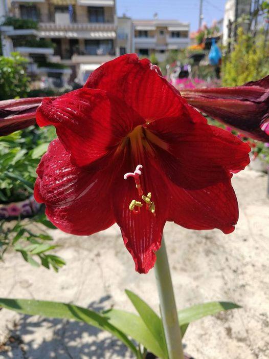 Αμαρυλλίς, συνήθως το άνθος φτάνει σε διάμετρο τα 15- 20 εκατοστά!!!!... 1