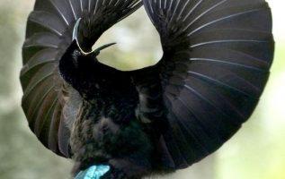 το εκπληκτικό paradise plumage καταφέρνει να ανταγωνιστεί το σκοτεινότερο υλικό ... 2