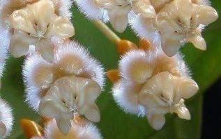 Το θαύμα της φύσηςαυτή είναι η Χόγια. Το βράδυ τα λουλούδια μυρίζουν πολύ ωραία... 4