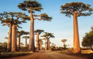Αδανσονία, θεόρατο δέντρο της Μαδαγασκάρης.!!!... 7