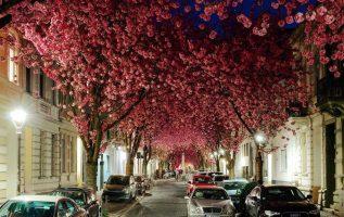 Ανθισμένες κερασιές σε δρόμο της Βόννης, στη Γερμανία... 2