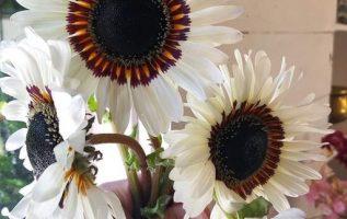 Καταπληκτικό λευκό ηλιοτρόπιο... 2