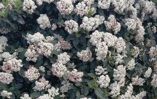 Βιβούρνο, ο θάμνος που από το πολύ άνθος εξαφανίζει από προσώπου γης τα φύλλα το... 4