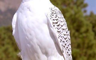 Γεράκι περήφανο κι αγέρωχο λευκό και πανέμορφο... 5