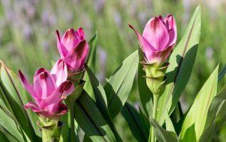 Κουρκουμάς, το εντυπωσιακό φυτό που μας δίνει ένα υπέροχο μπαχαρικό   Τα Μυστικά του Κήπου 4