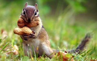 Γνωρίζετε ότι, εκατομμύρια δέντρα φυτεύονται τυχαία από σκίουρους που θάβουν του... 2