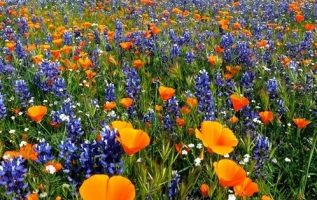 California Spring Wildflowers by Graham Owen... 3