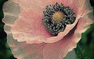 Louise Victoria Poppy είναι υπέροχη... φαίνεται φτιαγμένη από μετάξι!... 4