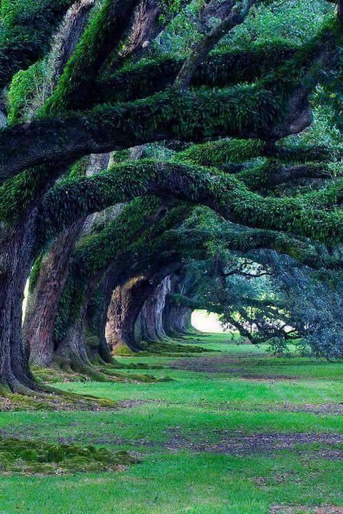 Βελανιδιές 300 ετών, Oak Alley Plantation, Λουιζιάνα... 1