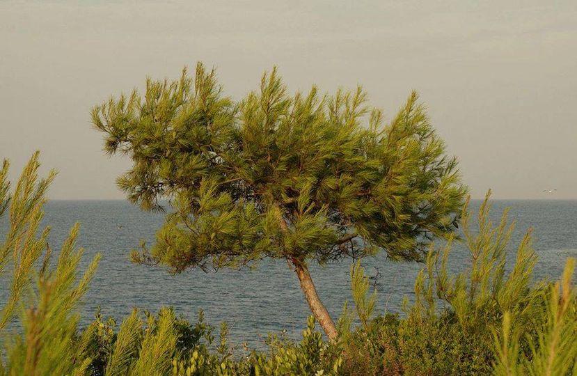 Γνωρίζατε ότι, στην Ελλάδα, τα δάση χαλεπίου πεύκης αποτελούν το 11% των συνολικ... 1