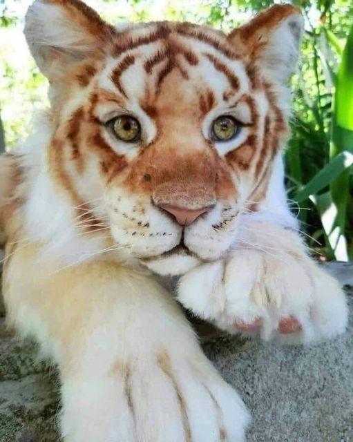 Η ομορφιά μιας μικρής τίγρης... 1