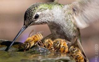 Ένα Κολιμπρί μοιράζεται ένα συντριβάνι νερού με τέσσερις μέλισσες... 2
