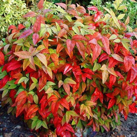 Ναντίνα, τα φύλλα της κοκκινίζουν το χειμώνα!... 1