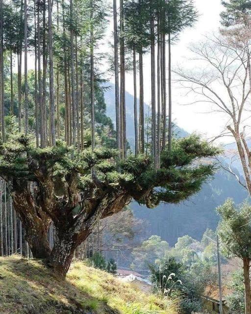 Οι Ιάπωνες έχουν αναπτύξει εδώ και 700 χρόνια μια τεχνική να παράγουν ξύλα χωρίς... 1