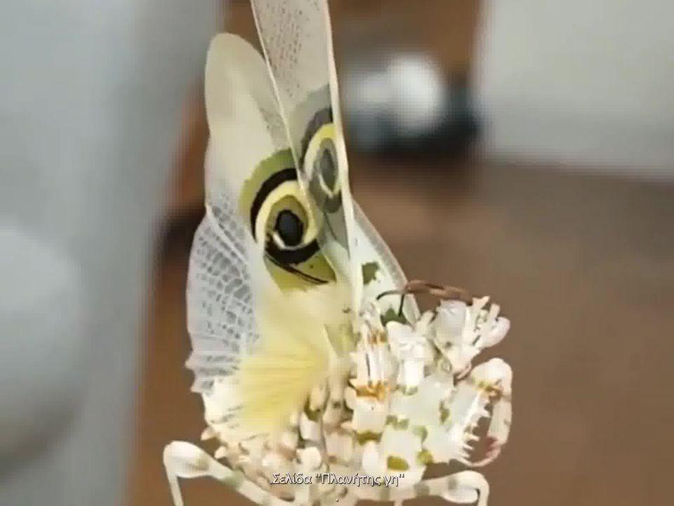 Παράξενο σπάνιο έντομο , σαν πεταλούδα... 1