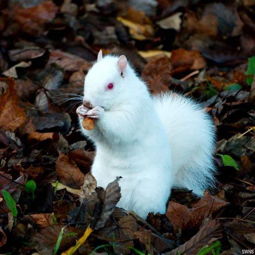Σπάνιος σκίουρος αλμπίνος... 1
