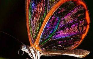 Ουάου! Τόσο όμορφη εμφανίσιμη Πεταλούδα διάφανη... 3