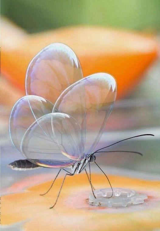διάσημη γυάλινη πεταλούδα, ένα είδος που ανήκει στην Κεντρική Αμερική... 1