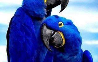 όμορφο και βραζιλιάνικοι Παπαγάλοι... 4