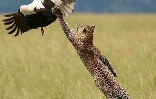 Καταπληκτικό κυνήγι από μια λεοπάρδαλη, φωτογραφήθηκε την κατάλληλη στιγμή... 3