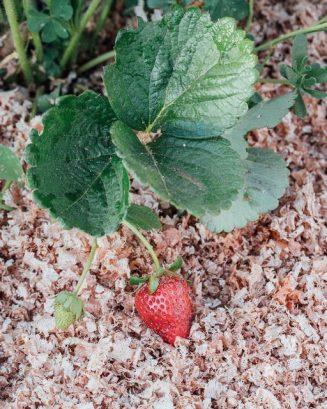 Εδαφοκάλυψη με ροκανίδι σε βιολογική καλλιέργεια φράουλας.... 1