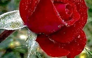 Τα πιο όμορφα λουλούδια γεννιούνται μετά από σκληρούς χειμώνες... 3