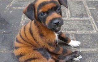 ένα σκυλάκι που μοιάζει με τίγρη... 7