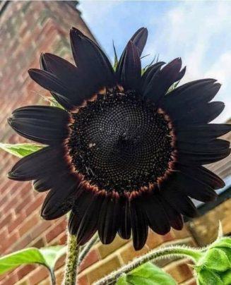Το όμορφο μαύρο ηλιοτρόπιο... 9