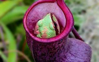 Τα Nepenthes είναι σαρκοβόρα φυτά που συλλαμβάνουν έντομα και άλλα θηράματα, με... 2
