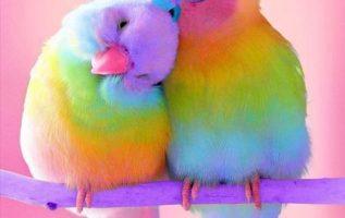 Rainbow parakeets.... 5