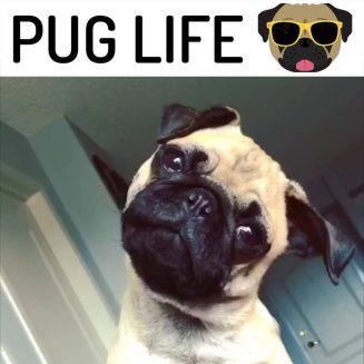 Απλώς ζώντας εκείνη την Pug Life.  Αγαπάτε το Pug σας;