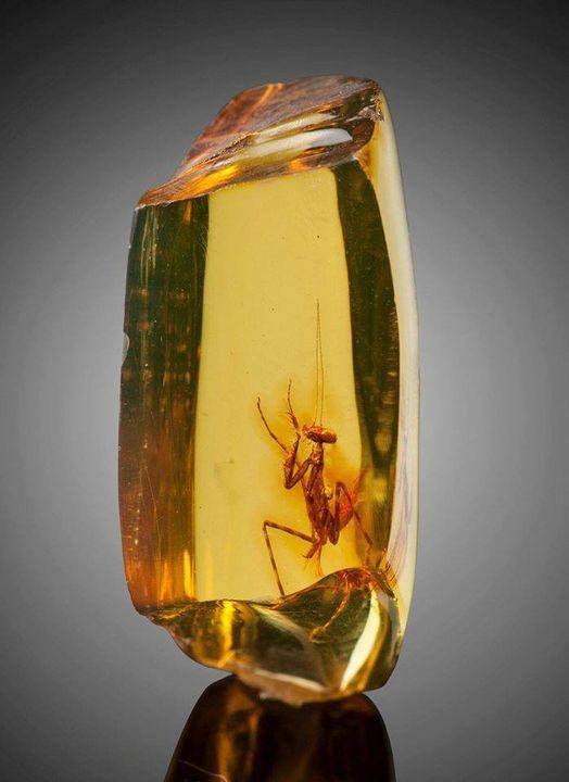 Από τα απίστευτα της φύσης,αυτό το έντομο παγιδέυτηκε σε κεχριμπάρι περιπου 12 ε... 1