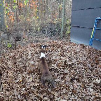 Τα σκυλιά σας καταστρέφουν τους σωρούς των φύλλων σας;  Η δική μου είναι!