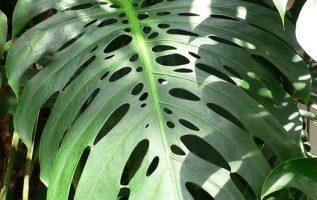 Μονστέρα, ένα εξωτικό φυτό με τεράστια φύλλα.!!... 2