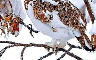 Αυτό είναι ειδικό καμουφλάζ το χειμώνα.... Η Λευκή Πέρδικα, που ονομάζεται και τ... 2