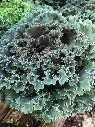 Καλλωπιστικό λάχανο, φυτό ιδανικό για συνθέσεις.!... 2