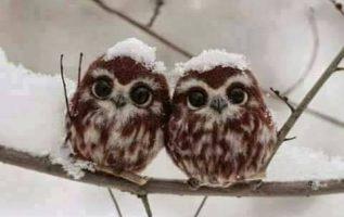 Δύο μωρά κουκουβάγιες στο χιόνι ...... 2