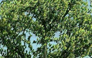 αυτό το δέντρο , δεν έχει φύλα είναι όλα πουλιά......... 5