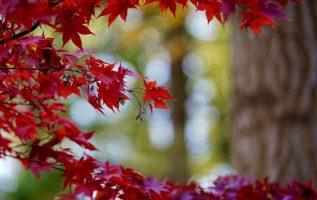 Ο φθινοπωρινός σφένδαμος..... 3