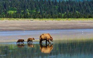 Alaskan Brown Bear with cubs at Lake Clark National Park and Preserve, Alaska, U... 2