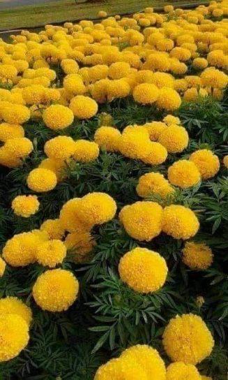 Marigolds !... 5
