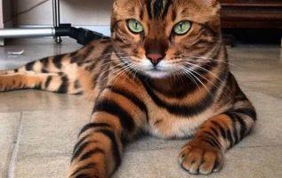 Thor, η γάτα που μοιάζει με τίγρη!... 2