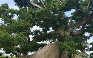 πανέμορφο δέντρο... 2