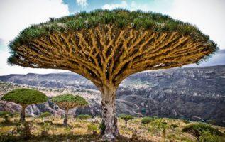 Ένα από τα πιο εντυπωσιακά φυτά της νήσου Σοκότρα στον Ινδικό Ωκεανό, είναι το δ...