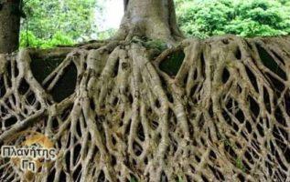 Έτσι είναι οι ρίζες ενός μεγάλου δέντρου...