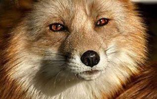 Όμορφη Κόκκινη Αλεπού...